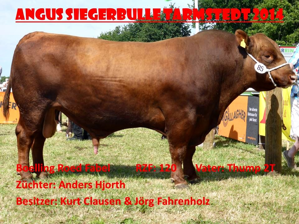 Bulle Red Angus Roed Fabel
